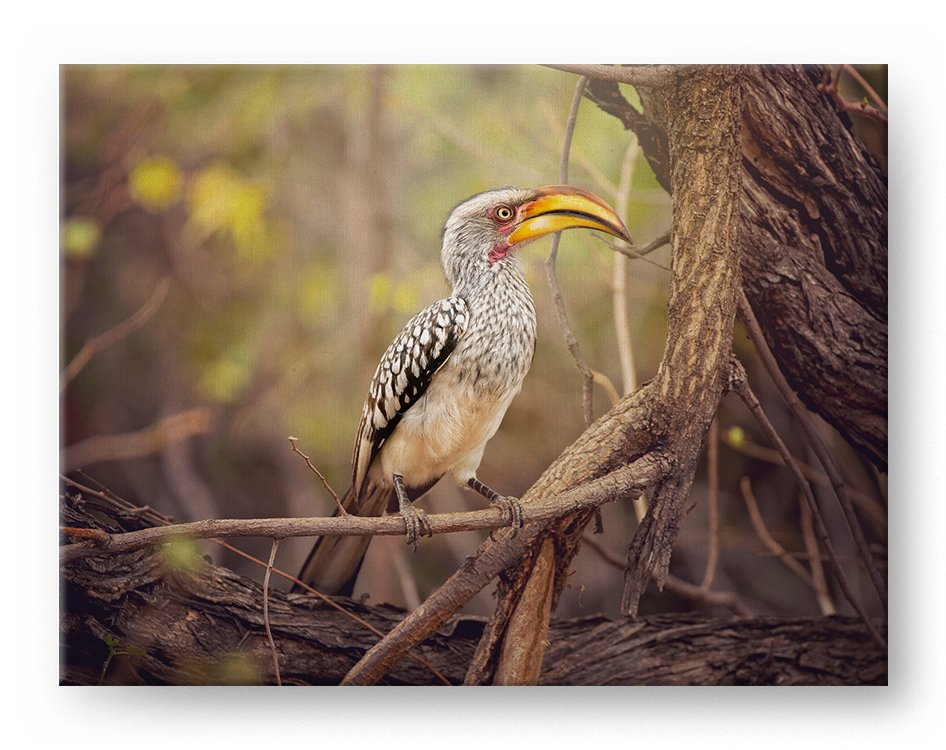 Yellow Hornbill Gallery Mounted Canvas Wildlife Photo Print