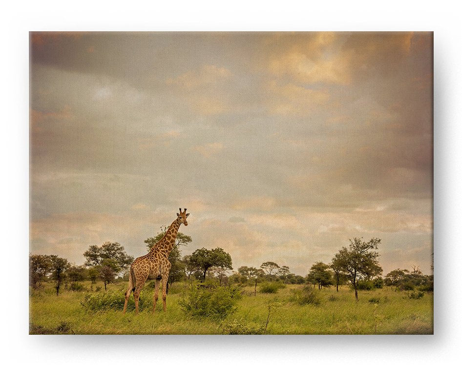 Giraffe Landscape Gallery Mounted Canvas Wildlife Photo Print Photo Print - Whimsical Wild Artwork