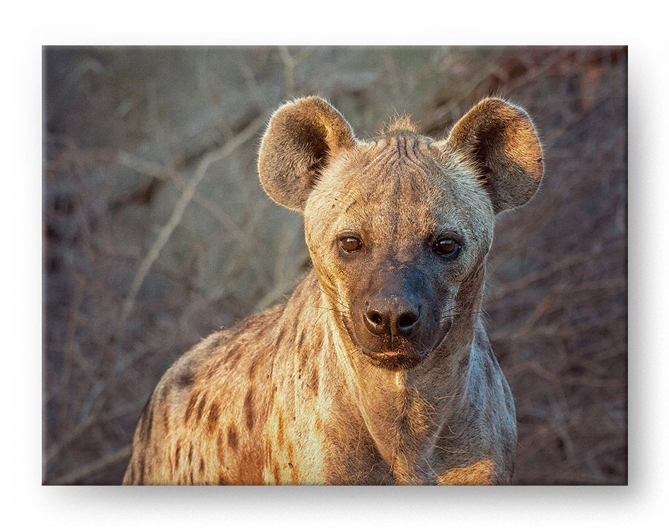 Sunset Hyena Gallery Mounted Canvas Wildlife Photo Print