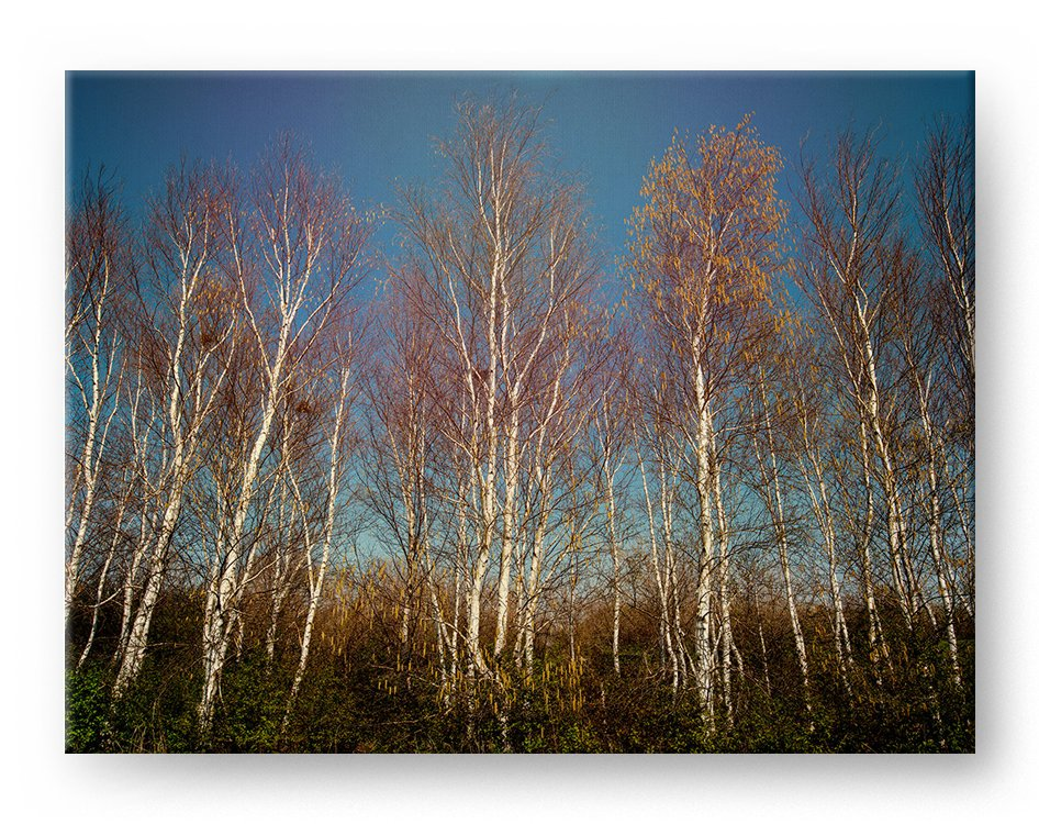 Aspen Forest Gallery Mounted Canvas Landscape Photo Print - Whimsical Wild Artwork