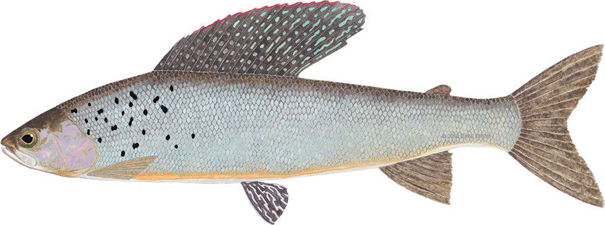 The Revenant: What will it take for Michigan's wild Arctic grayling to return home?