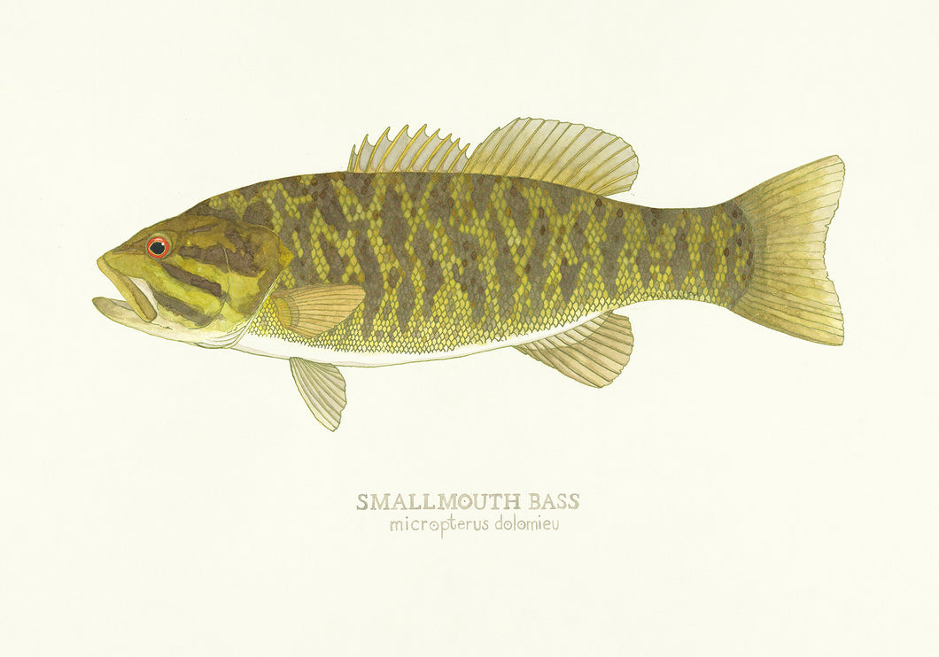 Smallmouth Bass Print