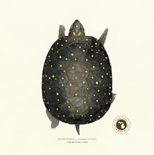 Michigan Spotted Turtle Print