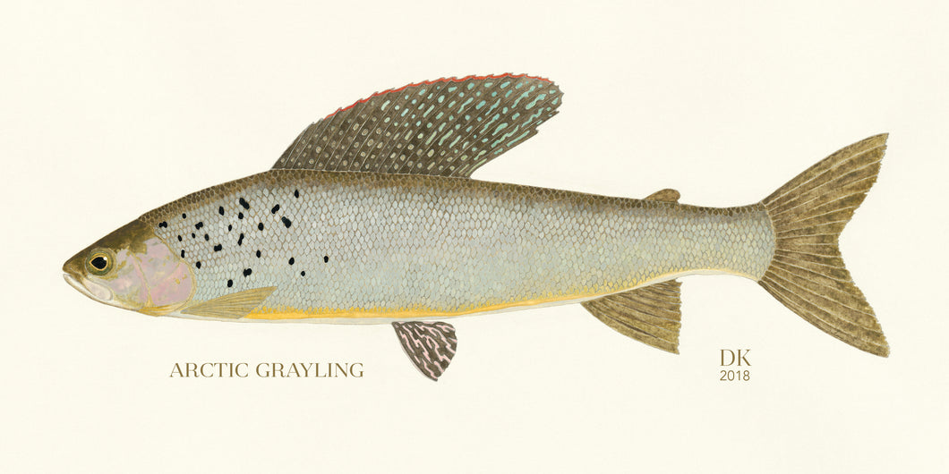 Special Edition Arctic Grayling Study