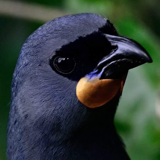 Search For The South Island Kokako