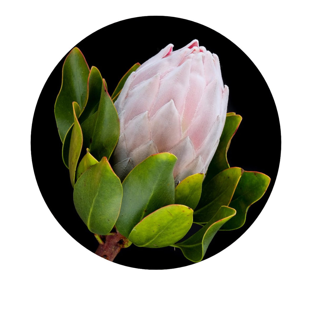 Wall Dot Large - Protea