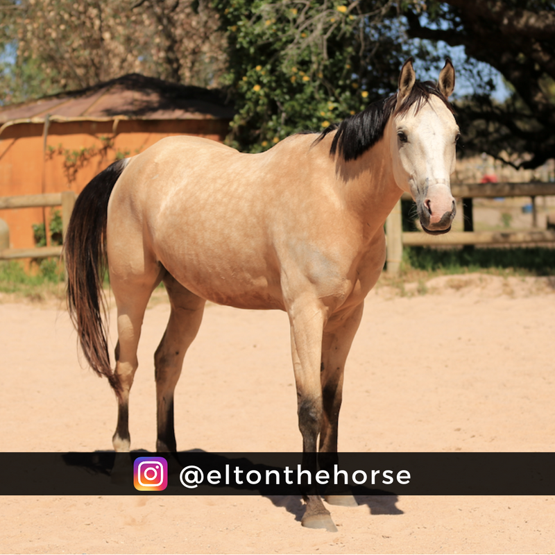 buckskin-filly-for-sale