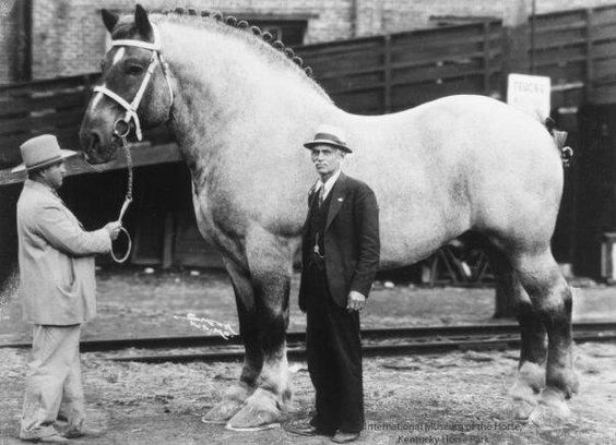 largest-horse-breeds