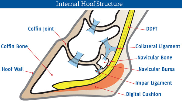 navicular-bone-disease-in-horses