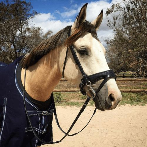 Ergonomic Dressage Padded Flash Bridle-Jeremy & Lord