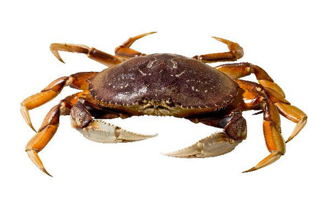 Live Canada Dungeness Crab - Evergreen Seafood