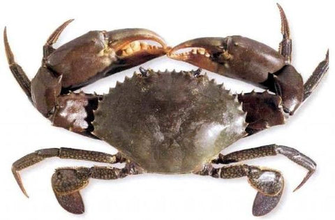 Buy Live Indonesia Mud Crab (Promotion!) Online for Delivery - Evergreen Seafood Singapore