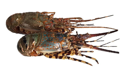 Buy Live Spiny Lobster Online for Delivery - Evergreen Seafood Singapore