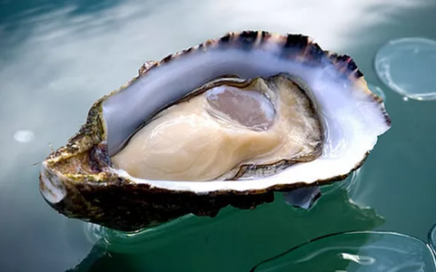 Live Australia Oysters - Evergreen Seafood