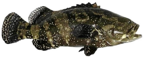 Live Dragon Tiger Grouper - Evergreen Seafood
