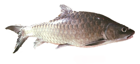 Buy Wild-caught Unforgettable Empurau Online for Delivery - Evergreen Seafood Singapore