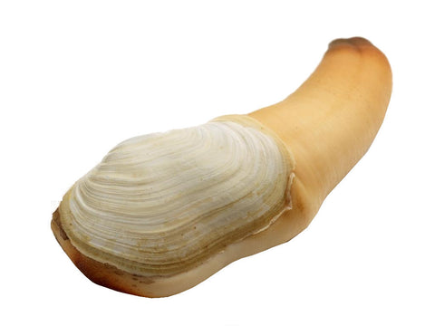 Buy Live Geoduck Clam Online for Delivery - Evergreen Seafood Singapore