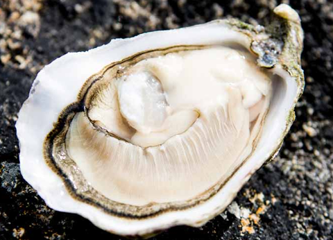 Live Irish Premium Oysters - Evergreen Seafood