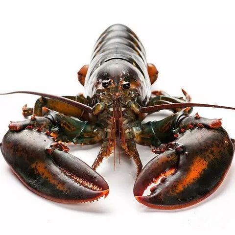 Live Boston/Canadian Lobster - Evergreen Seafood