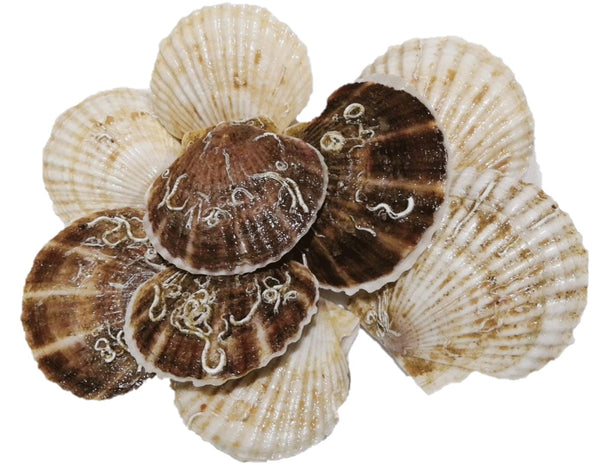 Buy Live Hokkaido Scallops Online for Delivery - Evergreen Seafood Singapore
