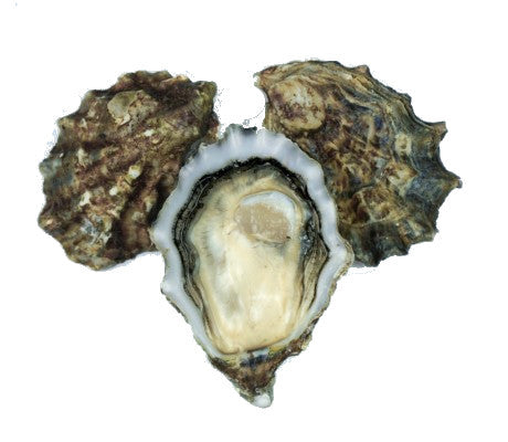 Live USA Pacific Oysters - Evergreen Seafood