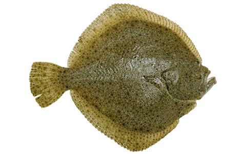 Live Turbot Fish - Evergreen Seafood