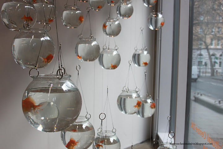 Lots of round glass fish bowls containing gold fish suspended from the ceiling, nearing a window