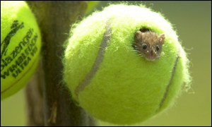 A mouse peaking out of a hole in a tennis ball