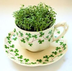 A tea cup with a clover leaf pattern and cress growing inside it
