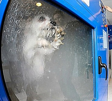 A dog apparently in a launderette style dog washing machine