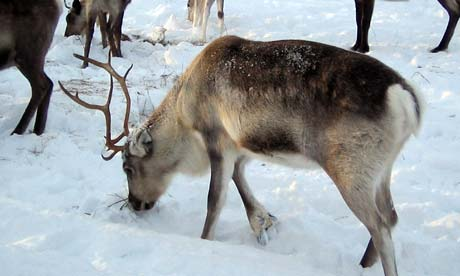 Reindeer sniffing at the snow