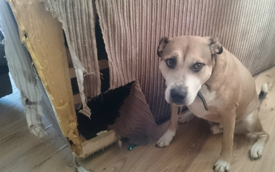 16 – Bailey chewed his way through this sofa. At least it was only the back! Owner: Emily_x88x