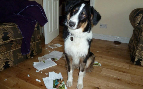 17 – Oscar, didn't like being trained so decided to rip up his puppy training book. Owner: Simonoakley660