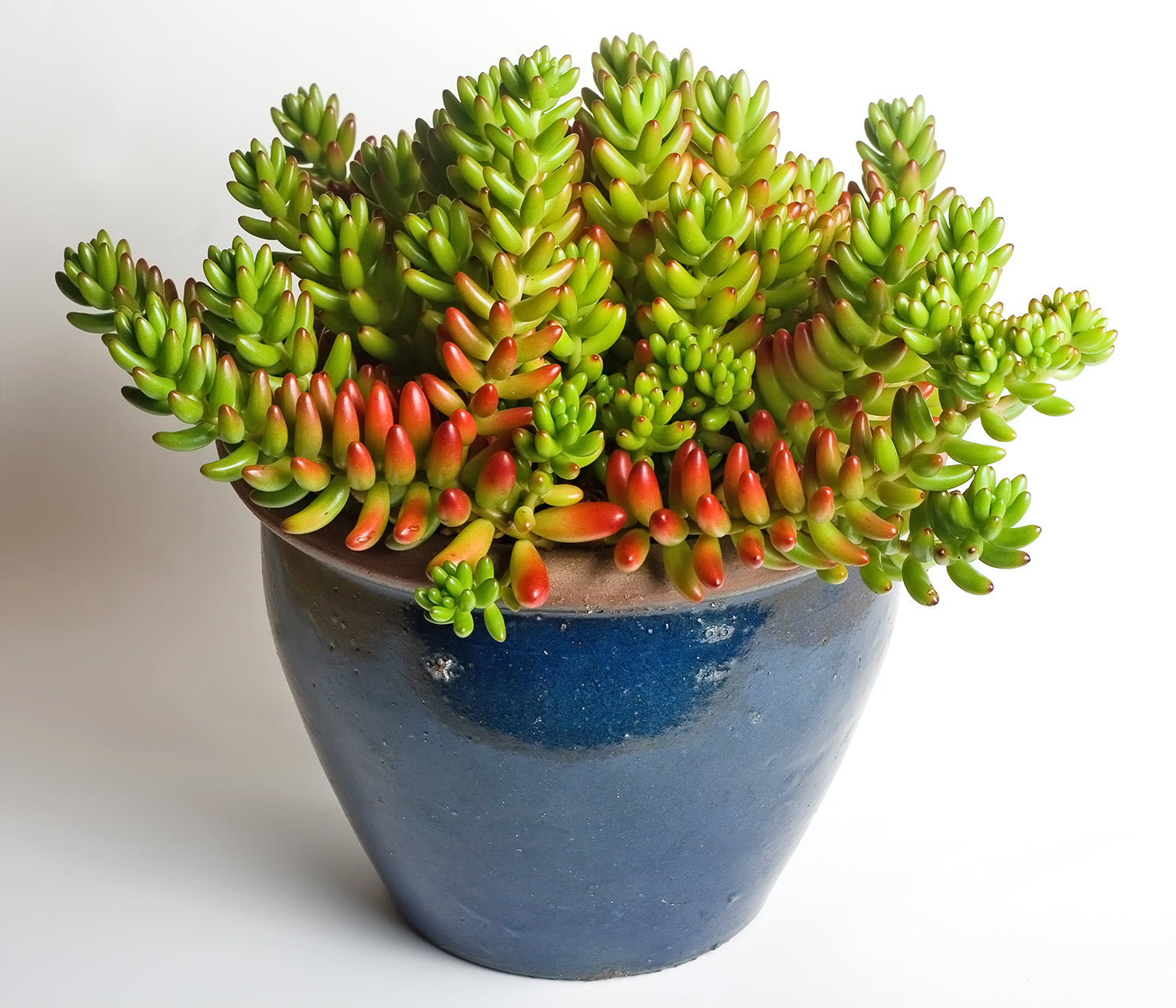 Blue ceramic plant pot containing sedum rubrotinctum