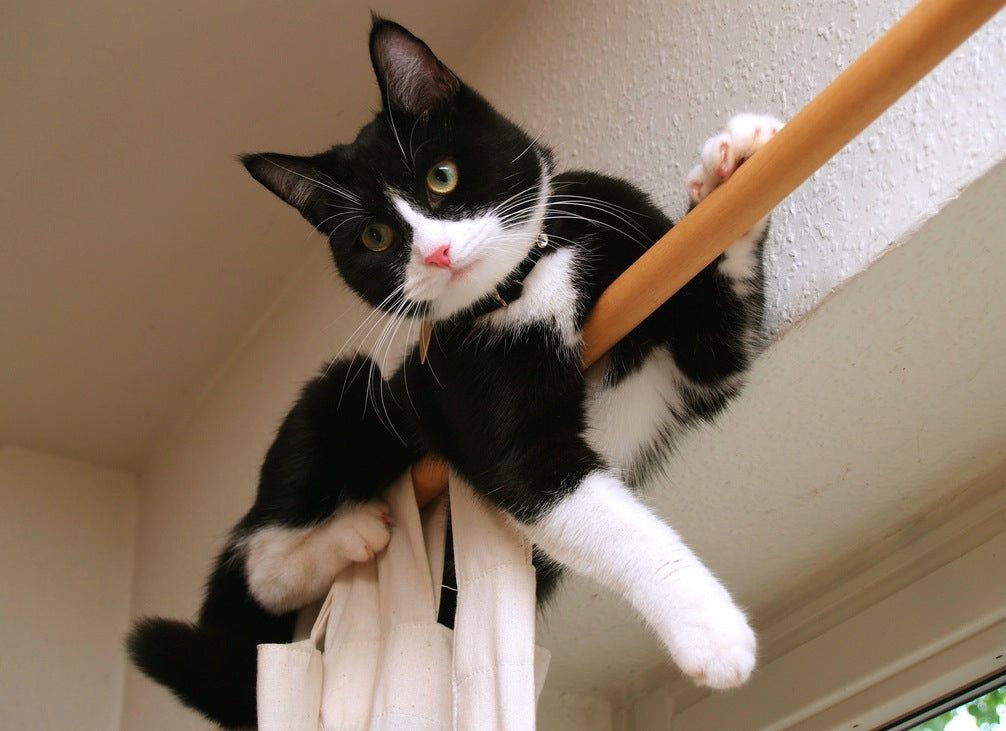 Black And White Cat Perched On A Curtain Pole