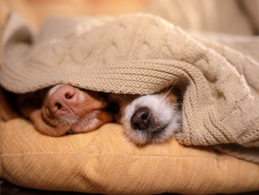Two Dog Noses Poking Out From Under A Beige Throw, Sitting On A Light Orange Sofa
