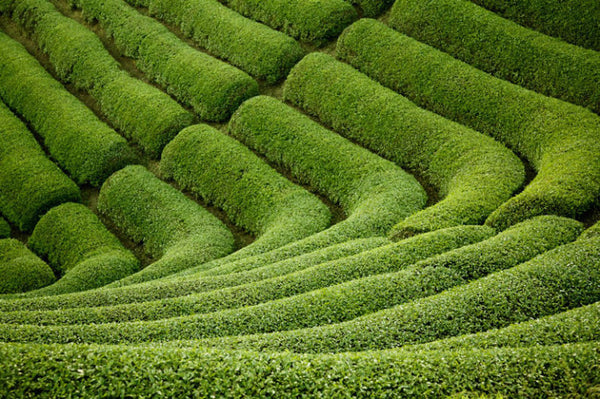 Matcha tea fields