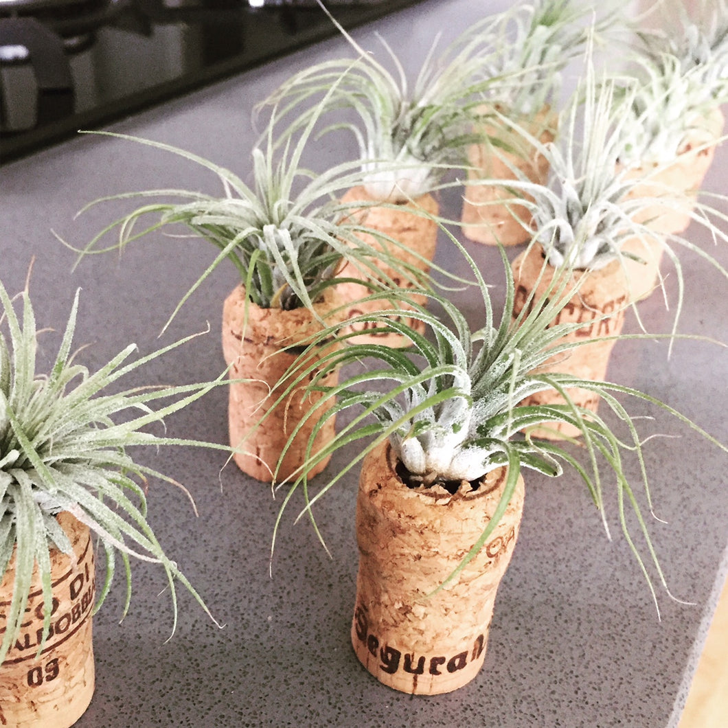 Champagne Cork Mini Planters | Real Champagne Corks | Real Mini Succulents | Airplants