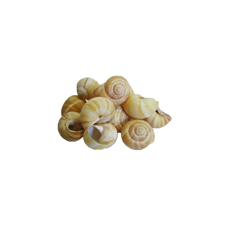 Snail Shells Extra Large: 36ct