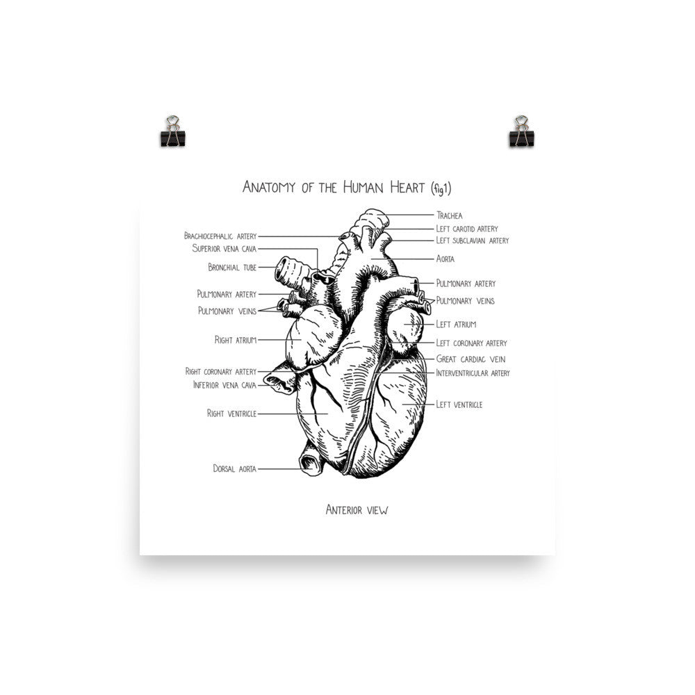 Anatomy of a Human Heart (fig 1) – Anatomy Of Everything