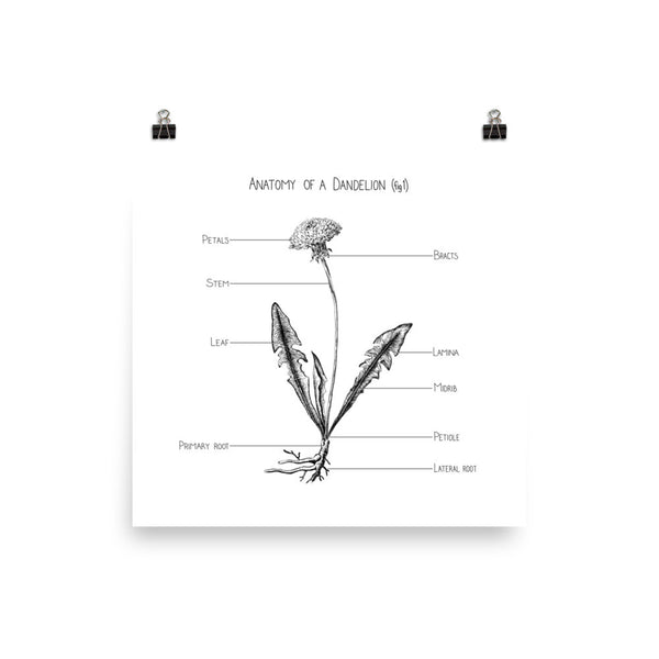 Anatomy of a Dandelion (fig 1)