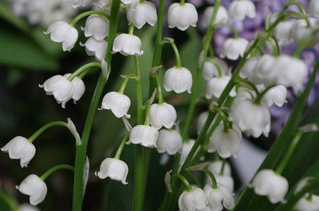 Lily of the Valley Fragrance Oil from www.glenbrookfarm.com