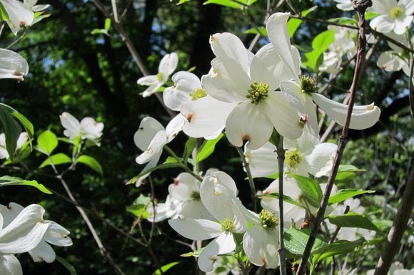 Old Dominion Dogwood