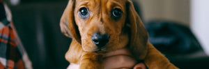 Cute hound dog puppy image