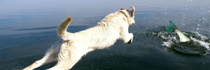 Dog jumping into the ocean towards a large fish