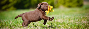 Growing Puppy fetching a toy