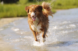 Dog running through the water with his tongue out