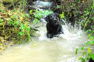 Black lab playing in a creek