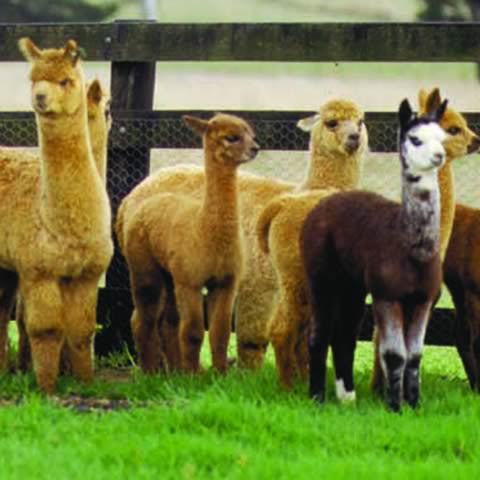 Alpacas at Coolaroo