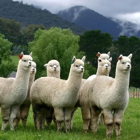 Alpacas at Halcyon in Melbourne
